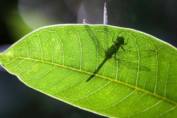 Dragonfly silhouette on a leaf, Amazon