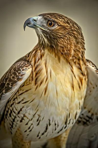 Red Shouldered Hawk Predator Decor|Wall Decor fleblanc