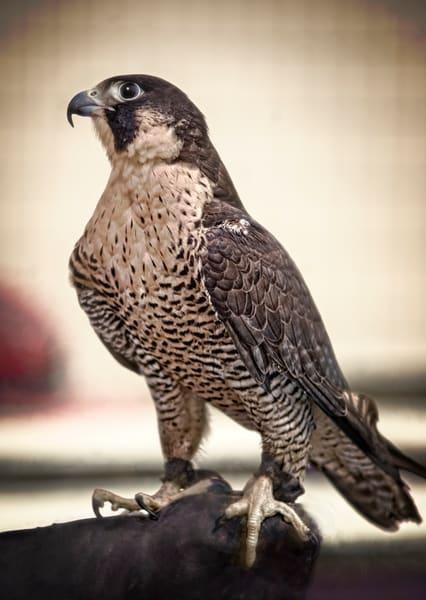 Peregrine Falcon Bird Of Prey Wall Decor|Wall Decor fleblanc
