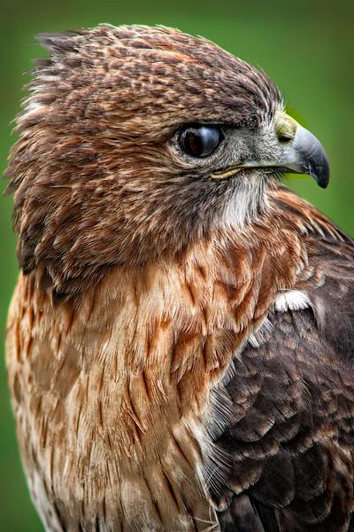 Red Shouldered Hawk Falcon Bird Of Prey|Wall Decor fleblanc