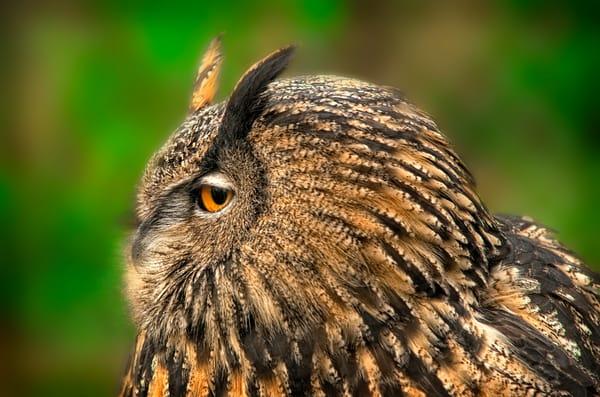 Great Horned Owl Tiger Owl Predator Decor|Wall Decor fleblanc