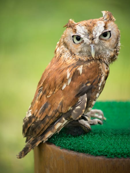 Lil Pygmy Owl Nocturnal Hunter Bird Decor|Wall Decor fleblanc