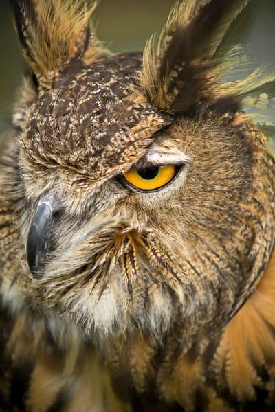 Great Horned Owl Close Up Portrait|Wall Decor fleblanc