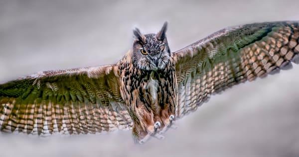 Great Horned Owl In Flight Bird Of Prey|Wall Decor fleblanc