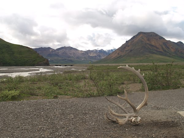 Caribou Antler in Alaska