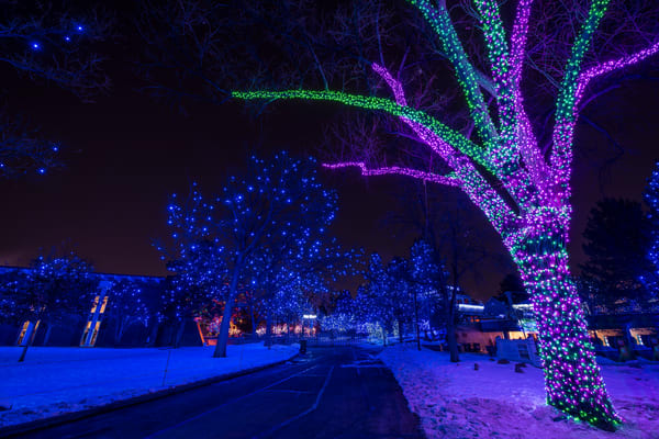 Photograph of Trees Lit Up Denver Zoo Lights