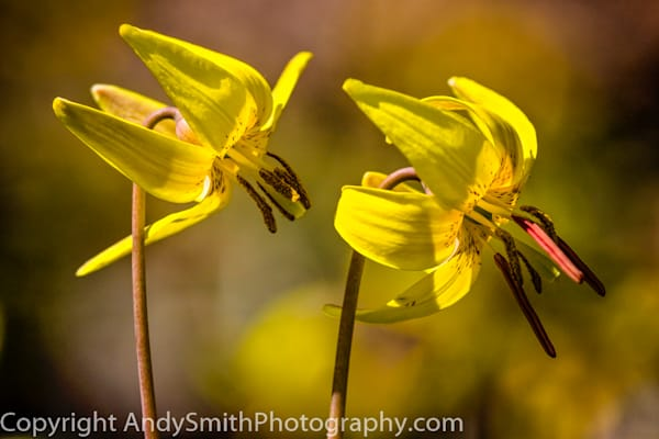 fine art photograph of two trout lilies in Jenkins Arboretum