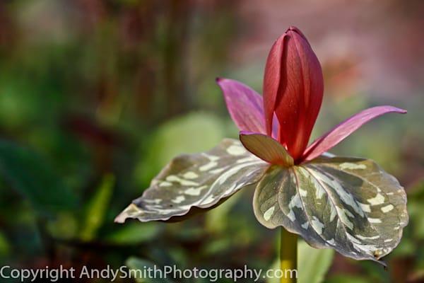 fine art photograph of Toad Trillium in Jenkins Arboretum