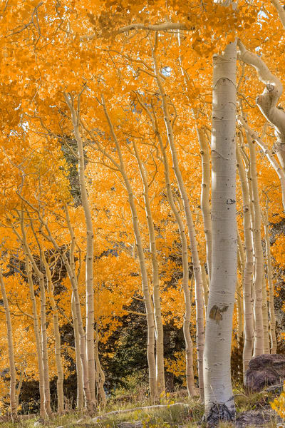 Aspen in Great Basin