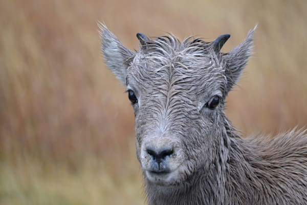 Photograph of a bighorn sheep lamb in the rain for sale as Fine Art
