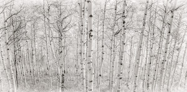 B&W Photograph of Strand of Aspen Trees Crested Butte Colorado