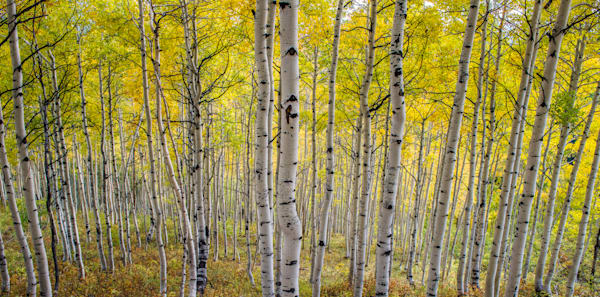 Photo of Strand of Aspen Trees in Crested Butte Colorado Yellow Fall Colors