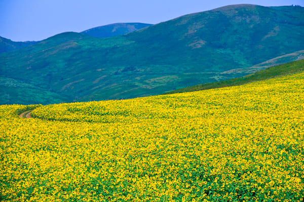 Field-of-Sunflowers