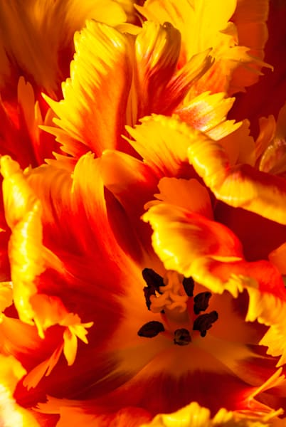 Parrot-Tulip-#2