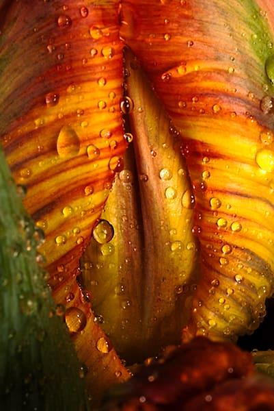 Parrot -Tulip-Bud