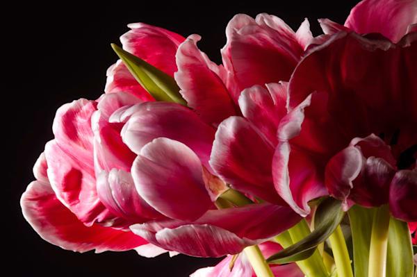 Parrot-Tulip-pink