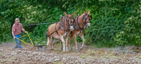 Matched Mule Team Antique Plowing|Wall Decor fleblanc