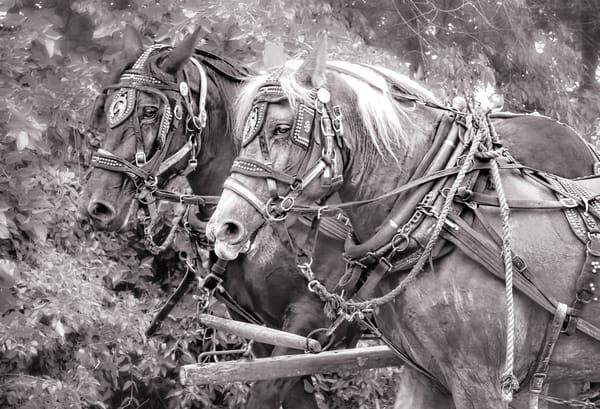 Horses In Harness Farm Team Wheat Wagon Black & White fleblanc