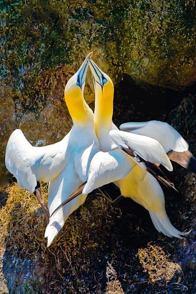 Gannets 001 Photography Art | Cheng Yan Studio