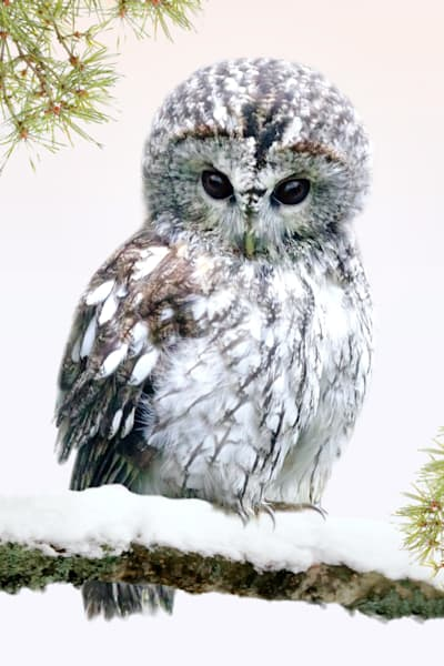 Owls 001 Photography Art | Cheng Yan Studio