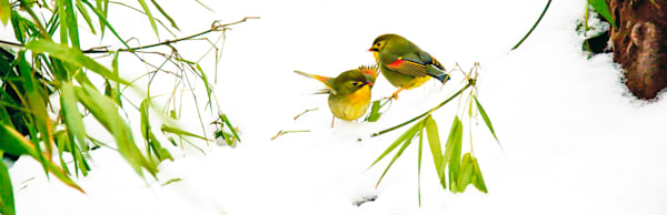 Pekin Robins And Chinese Birds 003 Photography Art | Cheng Yan Studio