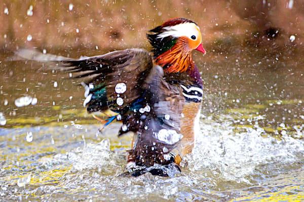 Pekin Robins And Chinese Birds 011 Photography Art   Cheng Yan Studio