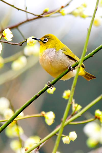 Pekin Robins And Chinese Birds 012 Photography Art   Cheng Yan Studio