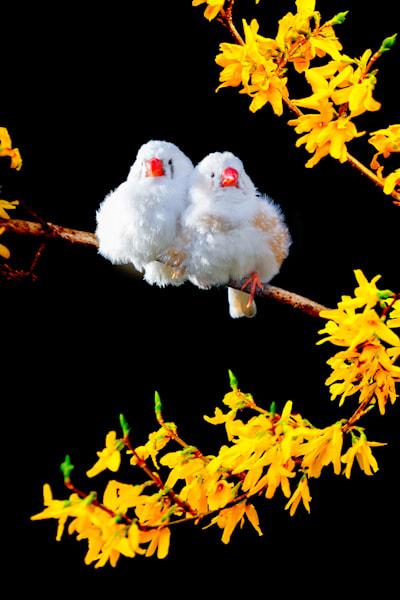 Pekin Robins And Chinese Birds 014 Photography Art   Cheng Yan Studio