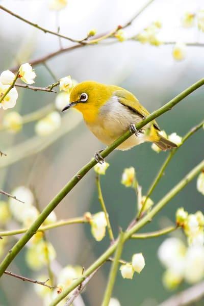 Pekin Robins And Chinese Birds 015 Photography Art   Cheng Yan Studio