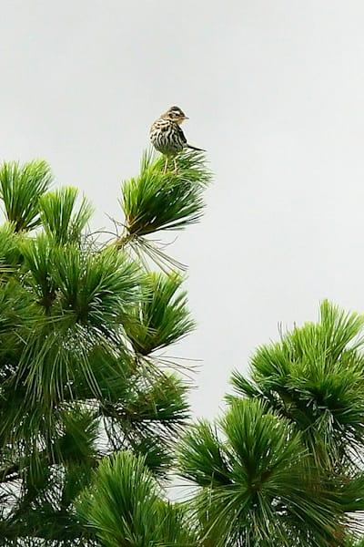 Pekin Robins And Chinese Birds 017 Photography Art   Cheng Yan Studio