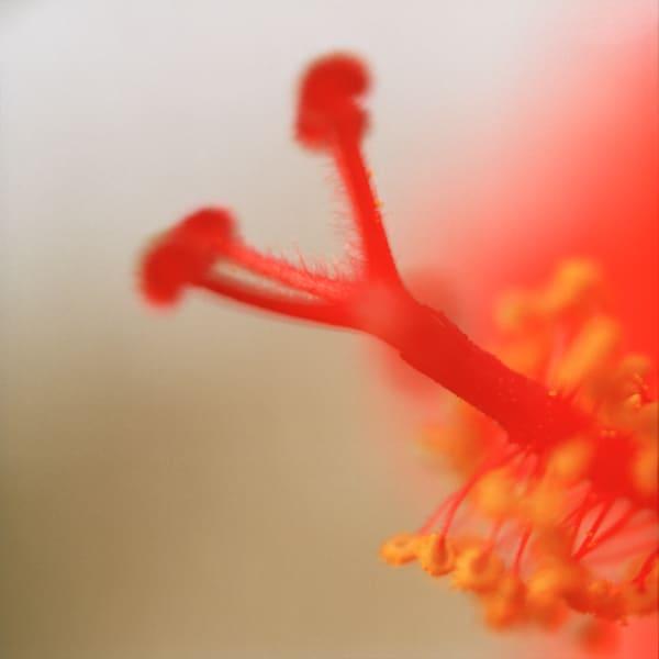 Red Stamen #2 Botanical Photography