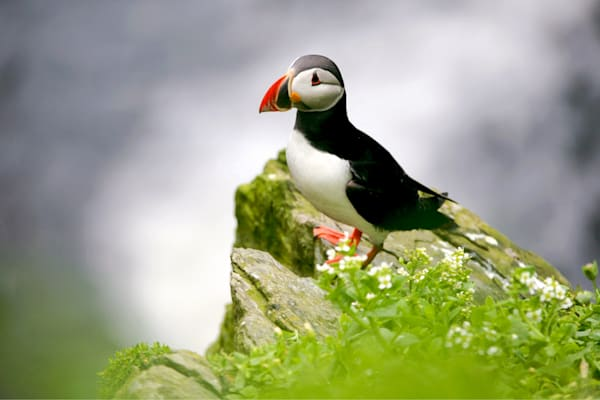 Puffins And Sea Birds 006 Photography Art | Cheng Yan Studio