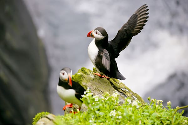 Puffins And Sea Birds 005 Photography Art | Cheng Yan Studio