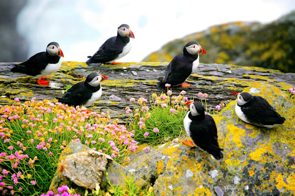 Puffins And Sea Birds 002 Photography Art | Cheng Yan Studio