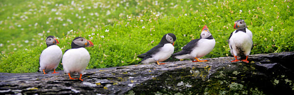 Puffins And Sea Birds 011 Photography Art | Cheng Yan Studio