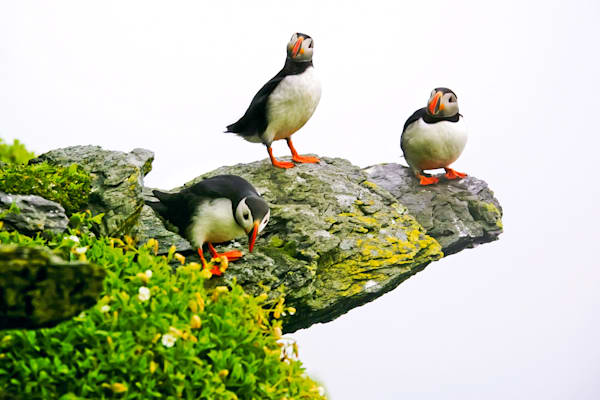 Puffins And Sea Birds 008 Photography Art | Cheng Yan Studio
