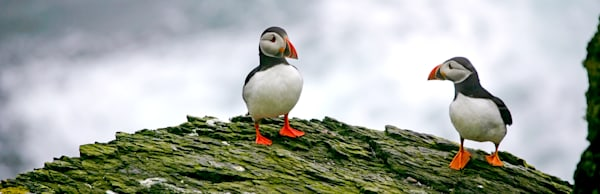Puffins And Sea Birds 012 Photography Art | Cheng Yan Studio