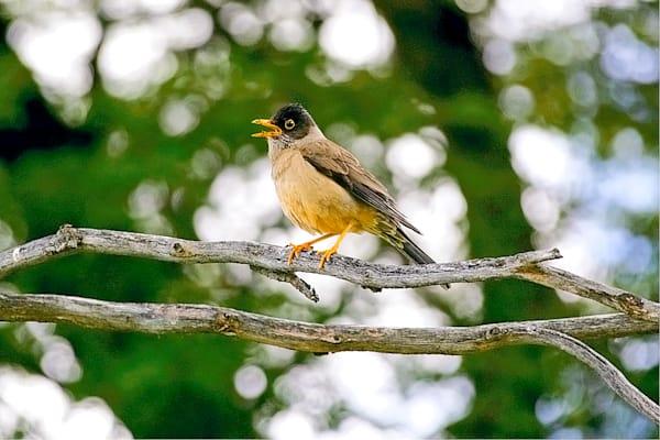 south-american-birds-015