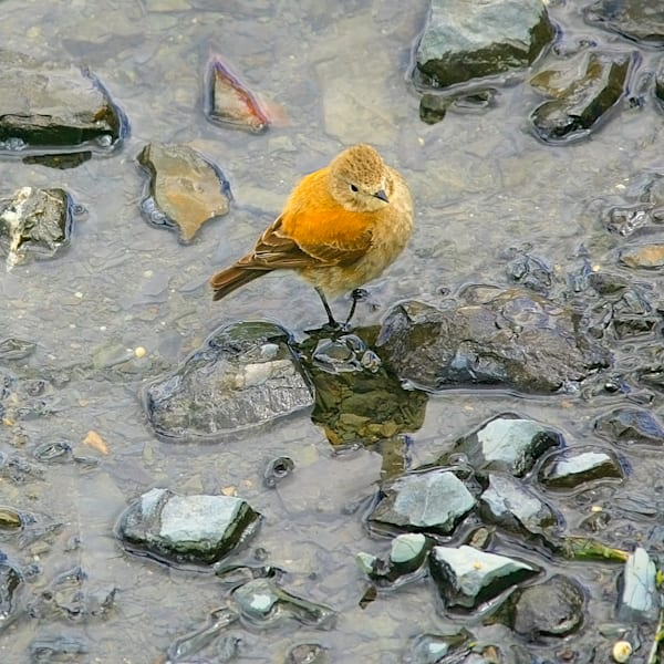 south-american-birds-017