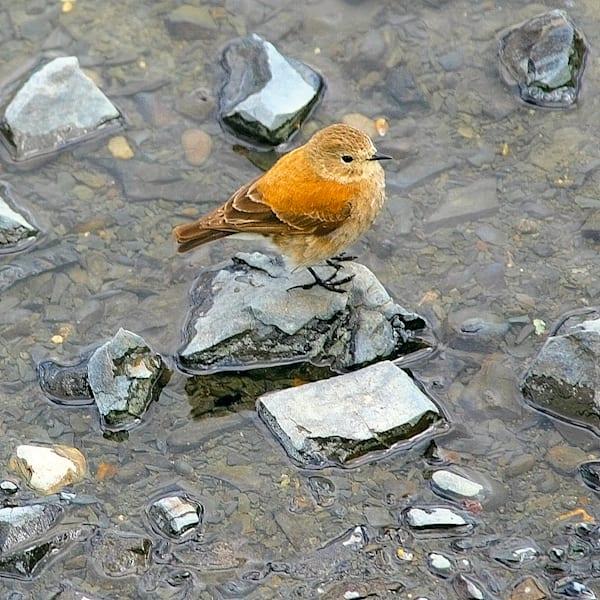 south-american-birds-016