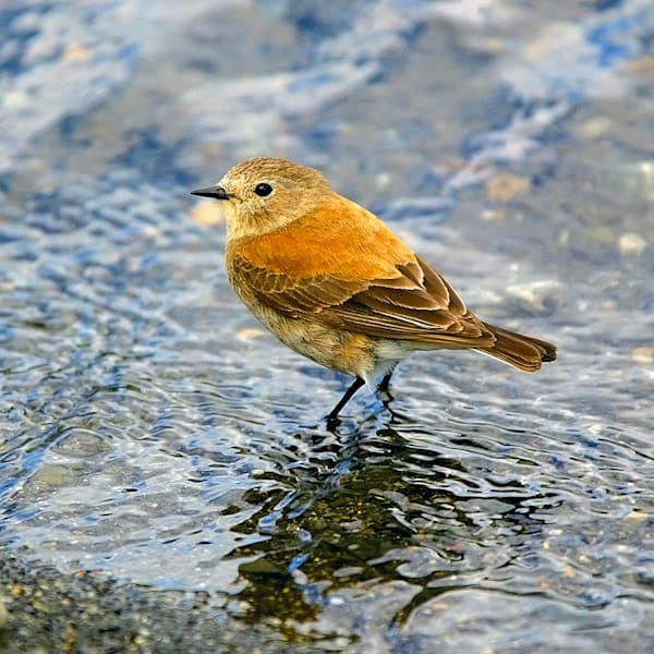 south-american-birds-023