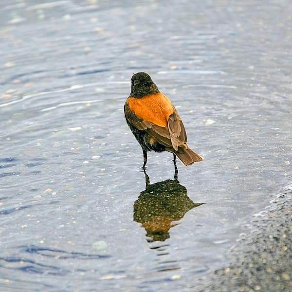 South American Birds 028 Photography Art | Cheng Yan Studio