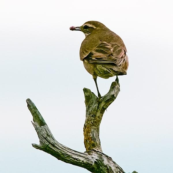 South American Birds 043 Photography Art | Cheng Yan Studio