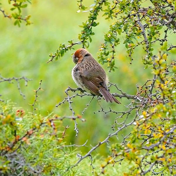 south-american-birds-040