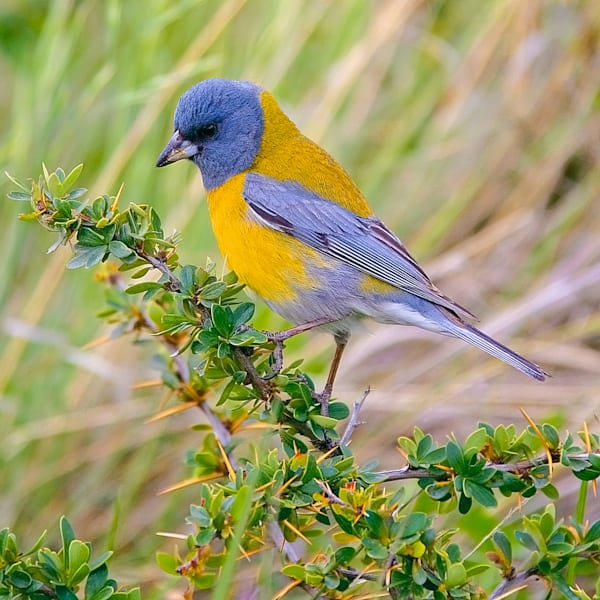 South American Birds 044 Photography Art | Cheng Yan Studio