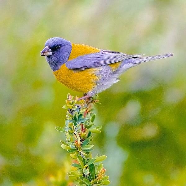 South American Birds 046 Photography Art | Cheng Yan Studio