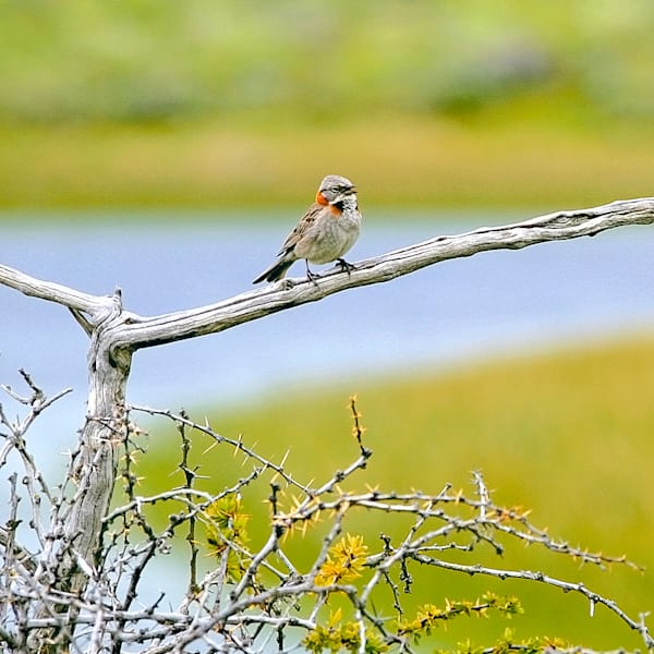 South American Birds 052 Photography Art | Cheng Yan Studio