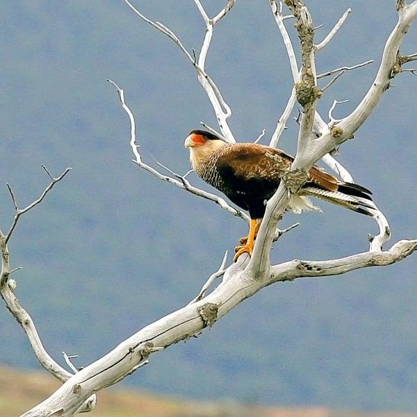 South American Birds 058 Photography Art | Cheng Yan Studio