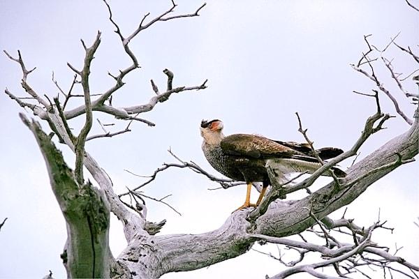 South American Birds 061 Photography Art | Cheng Yan Studio