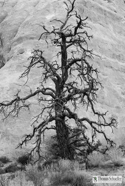 Exquisite details B&W fine art abstract photography/Gnarly tree in Arches National Park Utah